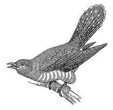 Cuckoo_(PSF)